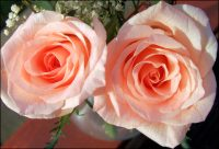 top tips for caring for roses - pruning
