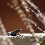 A lizard in my herb garden