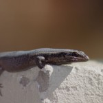 Lizard on the wall in my garden
